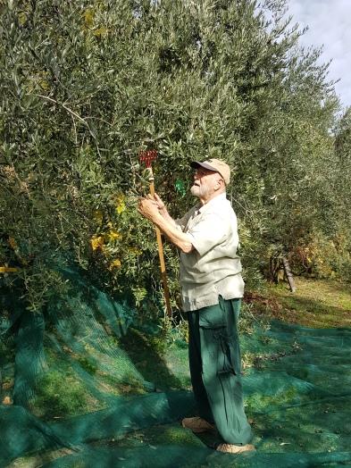 Olivenernte in unserem Dorf